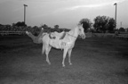 Saline rodeo horse clown_1978_600dpi.jpg