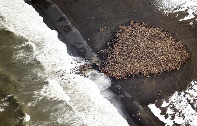 Thousands of Walruses Crowded an Alaskan Beach   VICE Canada